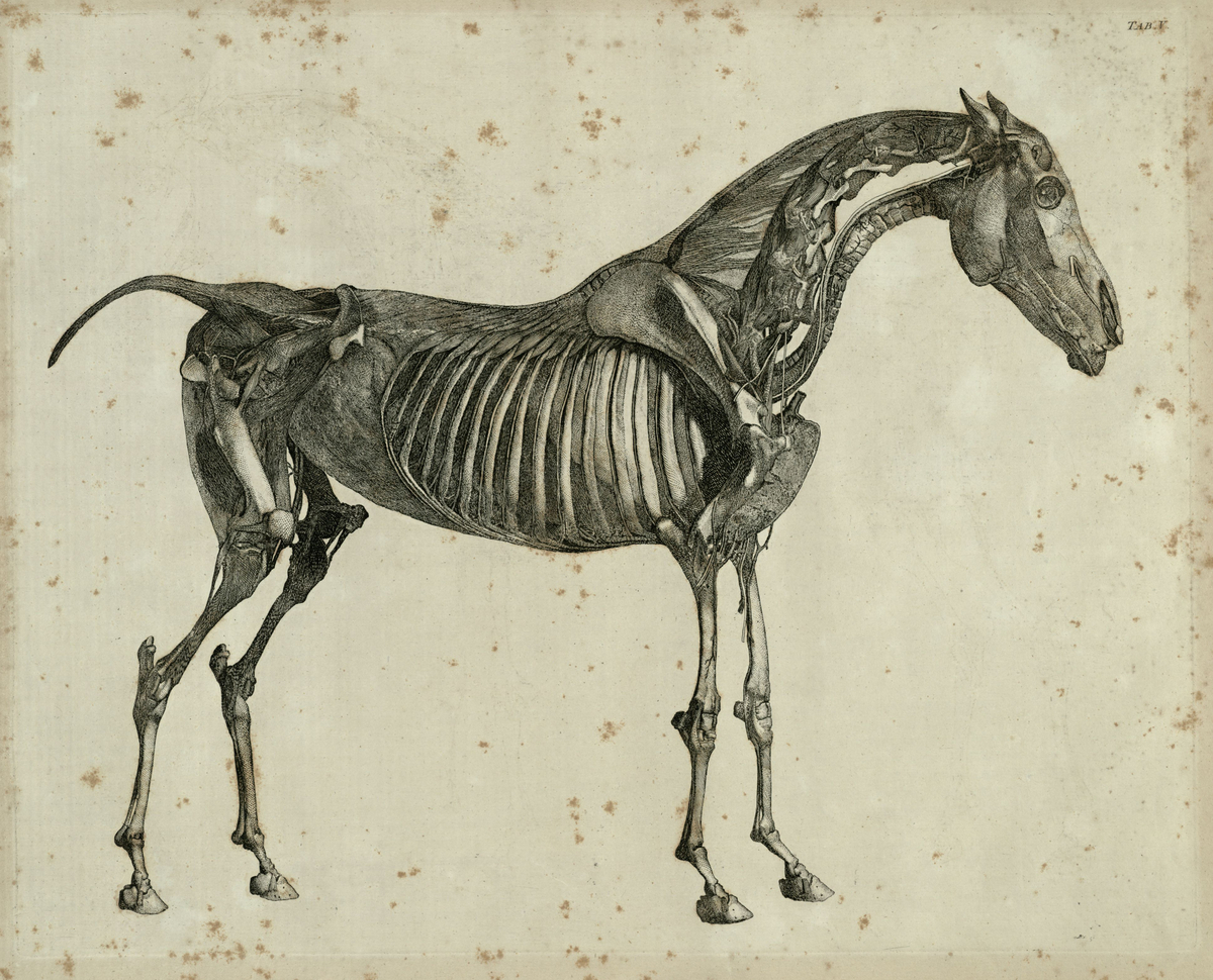 The fifth anatomical table of the muscles, fascias, ligaments, nerves, arteries, veins, glands, and cartilages of a horse