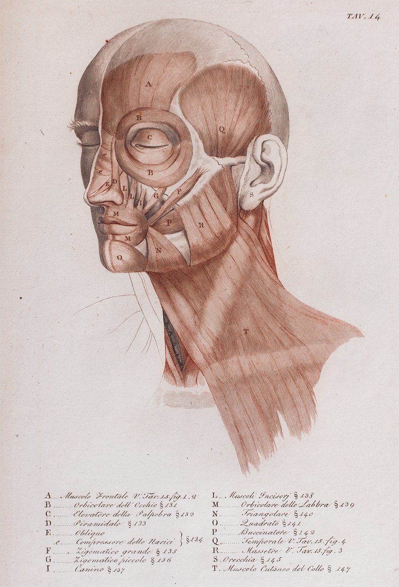 Anatomical diagram of the muscles of the face