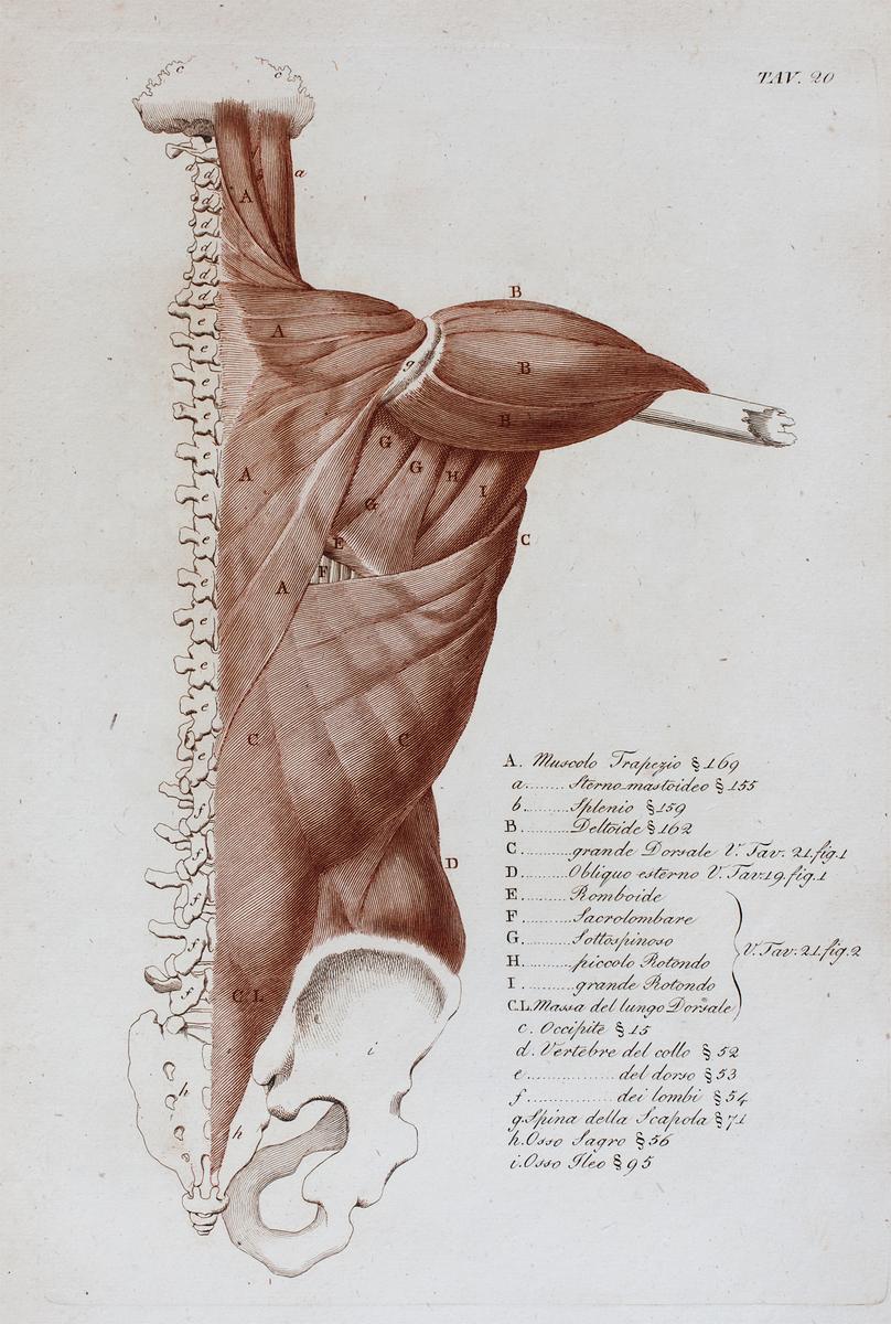 Anatomical diagram of the pelvis, spine, and muscles of the back