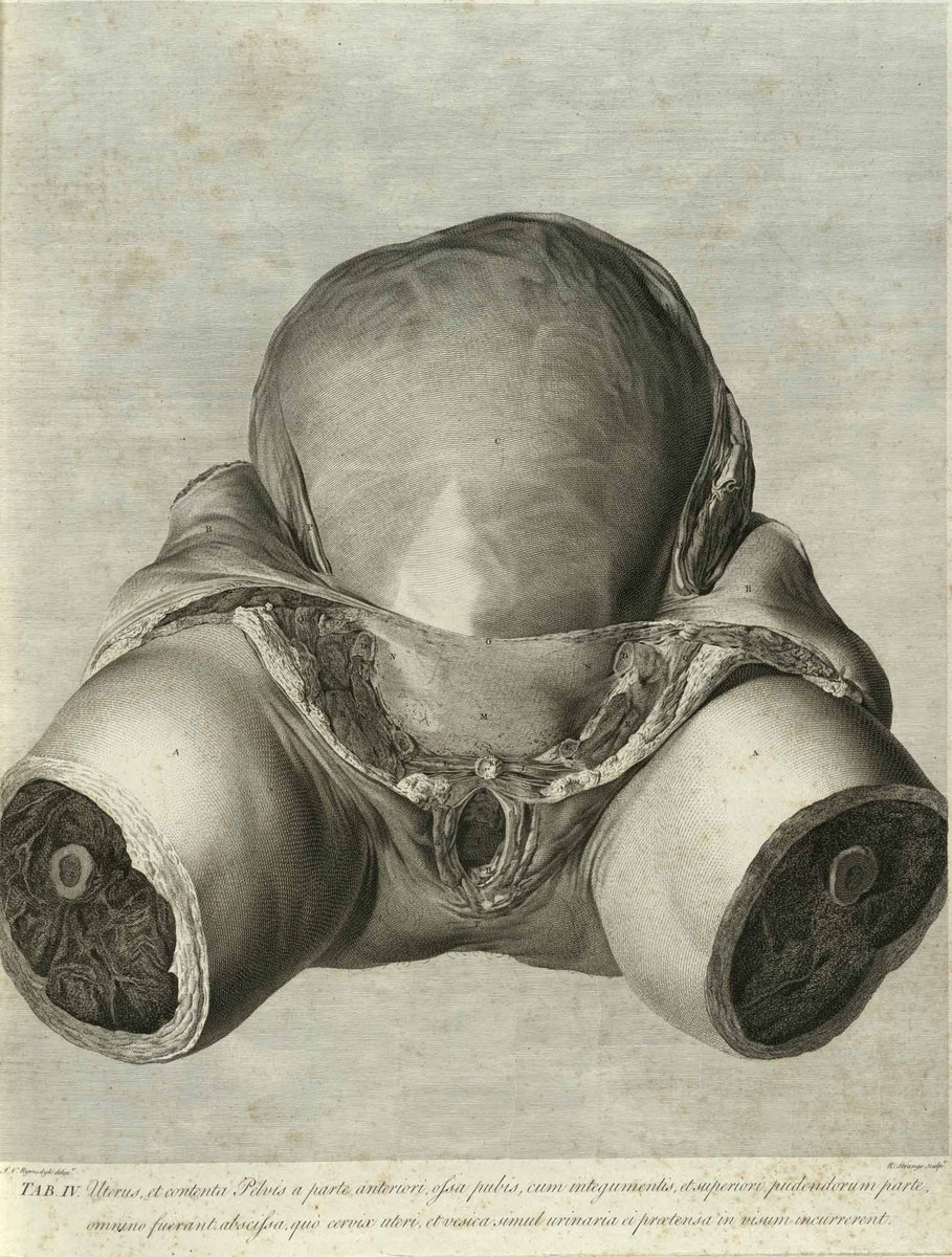 A fore-view of the womb, and of the contents of the pelvis; the ossa pubis, with the muscles and integuments which cover them, being removed
