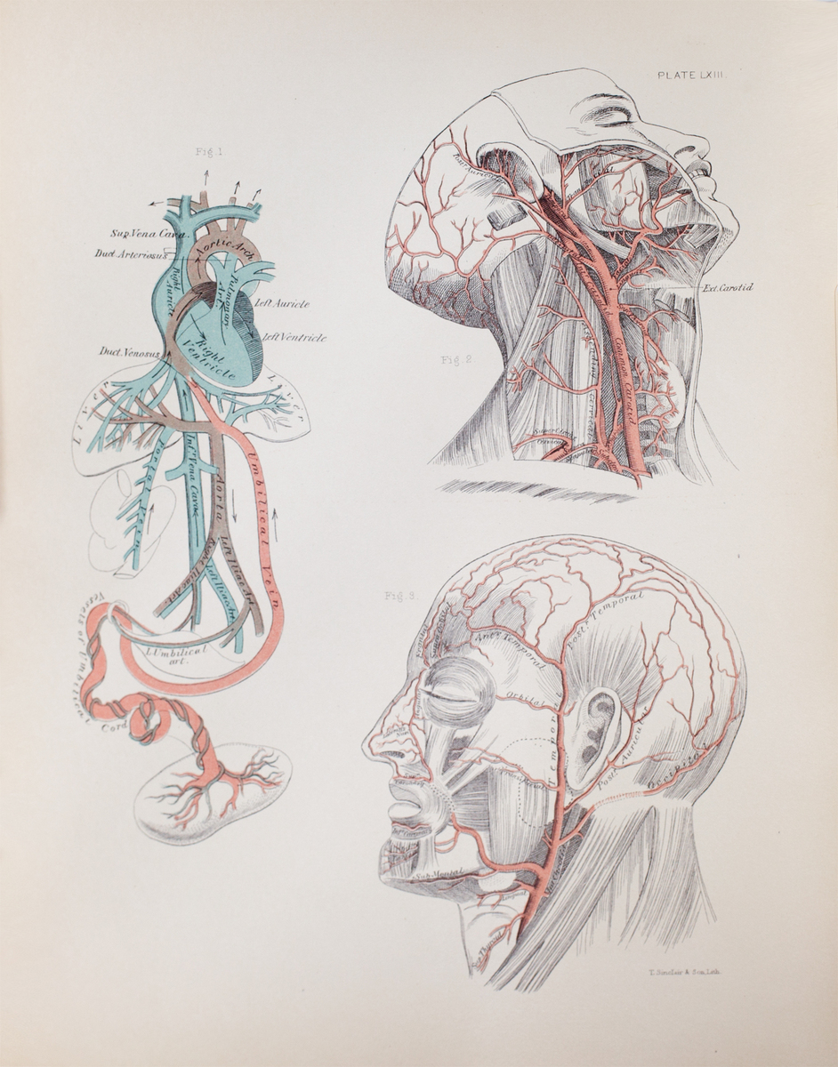 Anatomical diagram of the arteries of the neck and face and foetal circulation