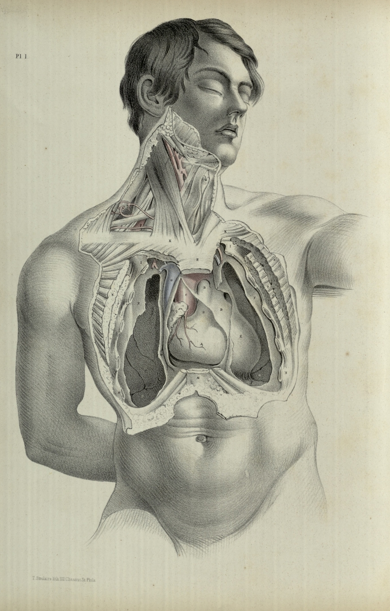 The form of the thoracic cavity, and the position of the lungs, heart, and larger bloodvessels