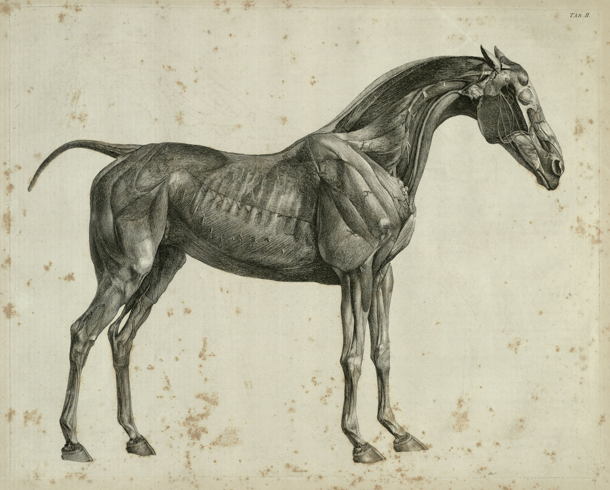 The second anatomical table of the muscles, fascias, ligaments, nerves, arteries, veins, glands, and cartilages of a horse