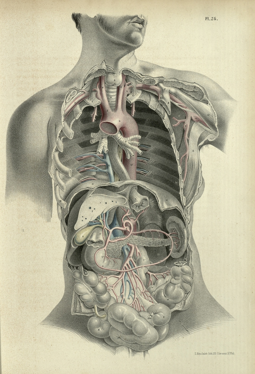 The relations fo the principal bloodvessels to the viscera of the thoracico-abdominal cavity