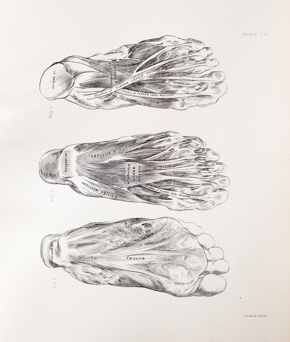 Anatomical diagram of the muscles of the foot