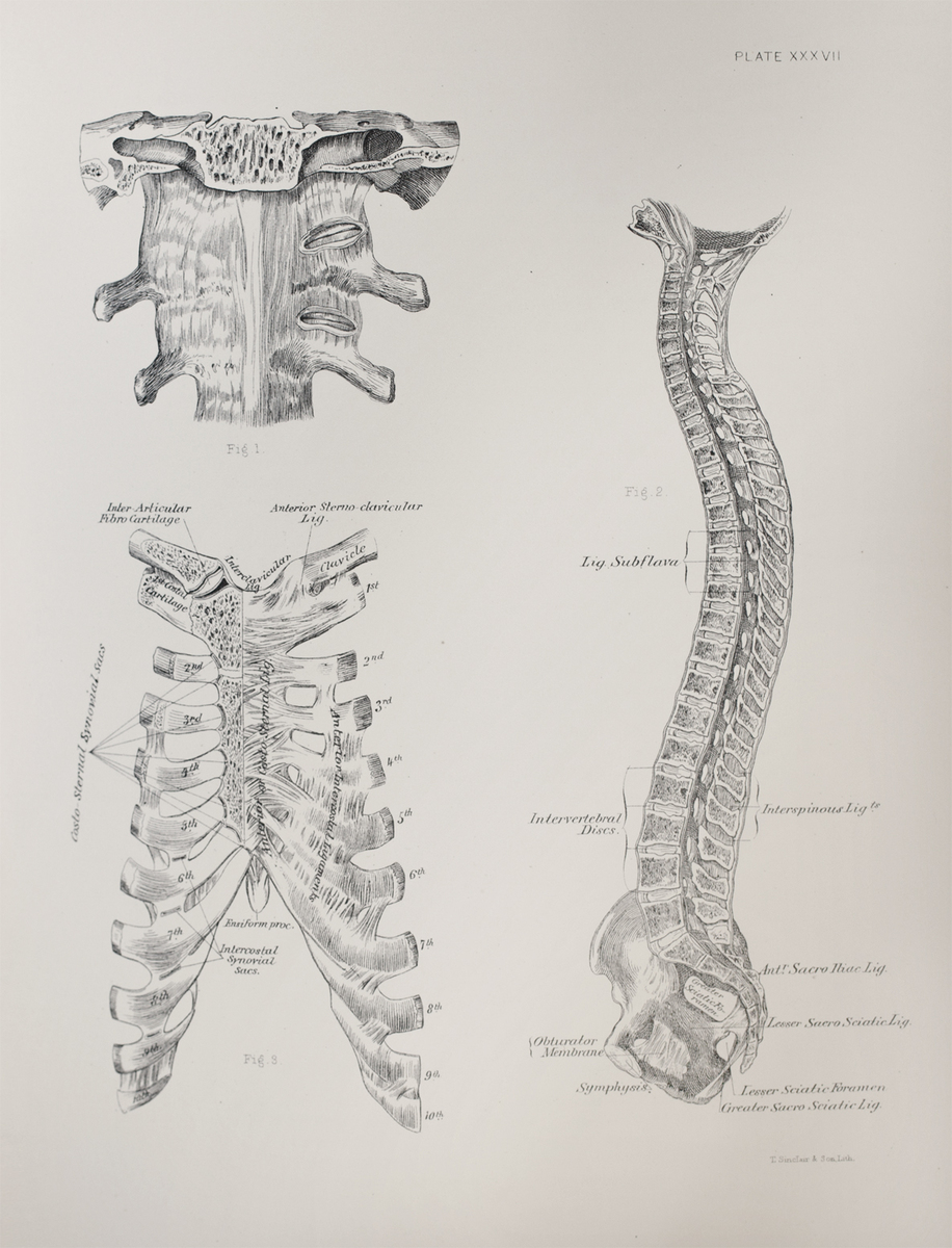 Anatomical diagram of the joints and ligaments of the vertebral column