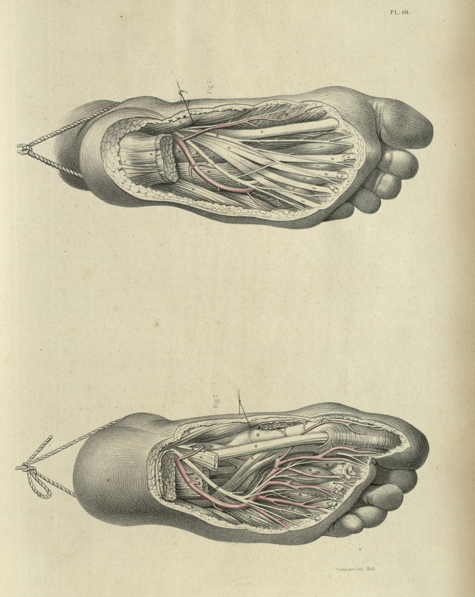The surgical dissection of the anterior crural region, the ankles, and the foot