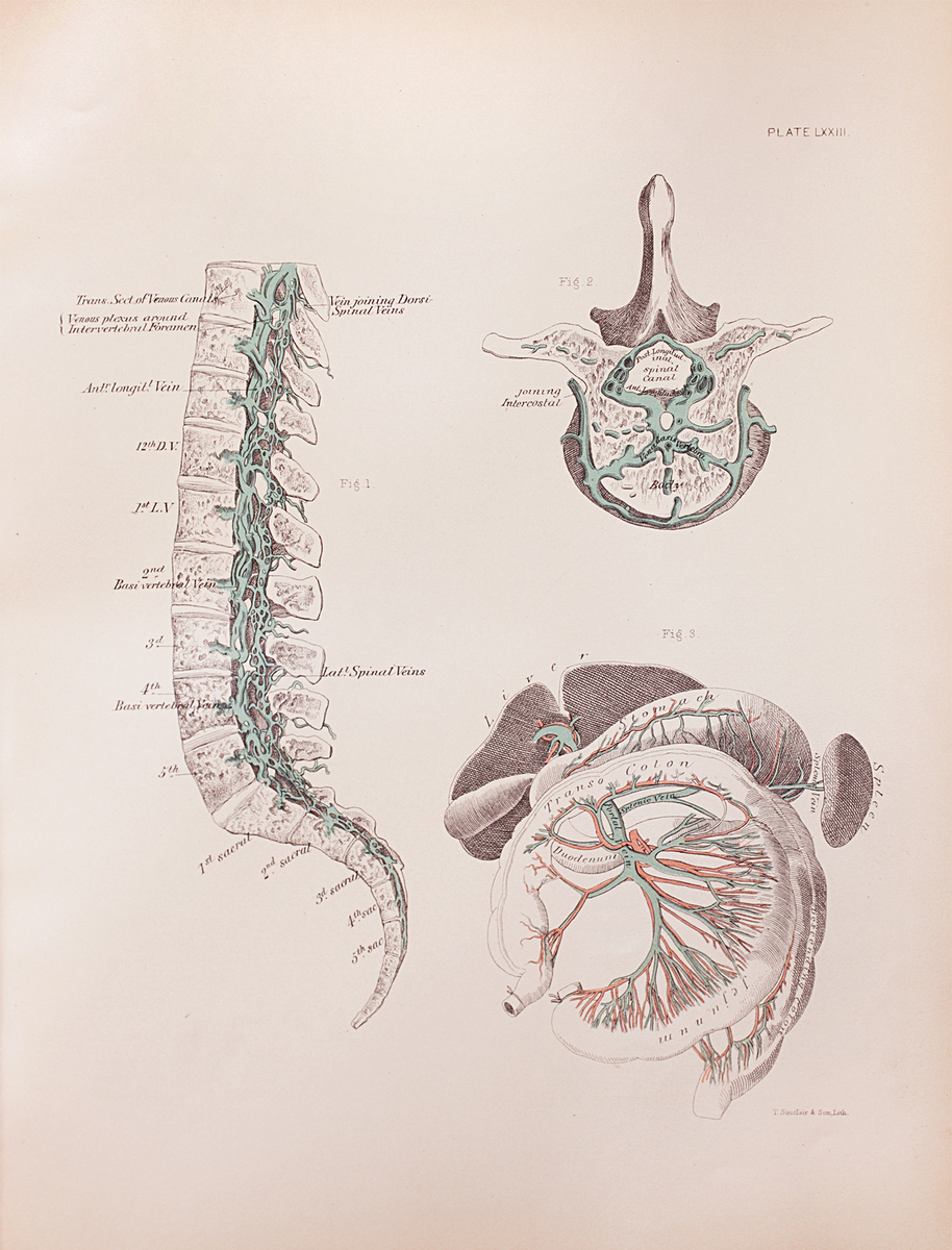 Anatomical diagram of spinal veins and the portal system of veins