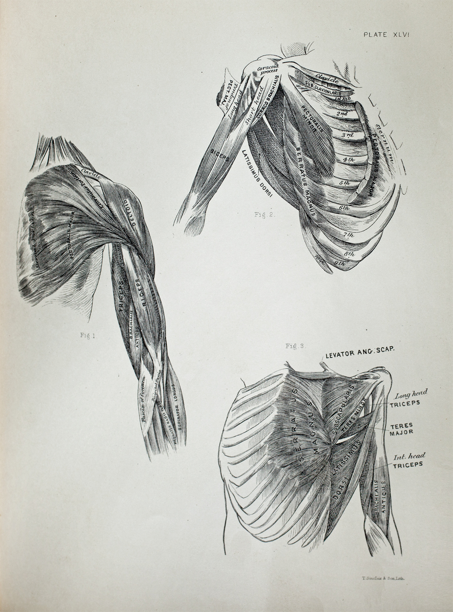 Anatomical diagram of the muscles of the shoulder, arm, and chest