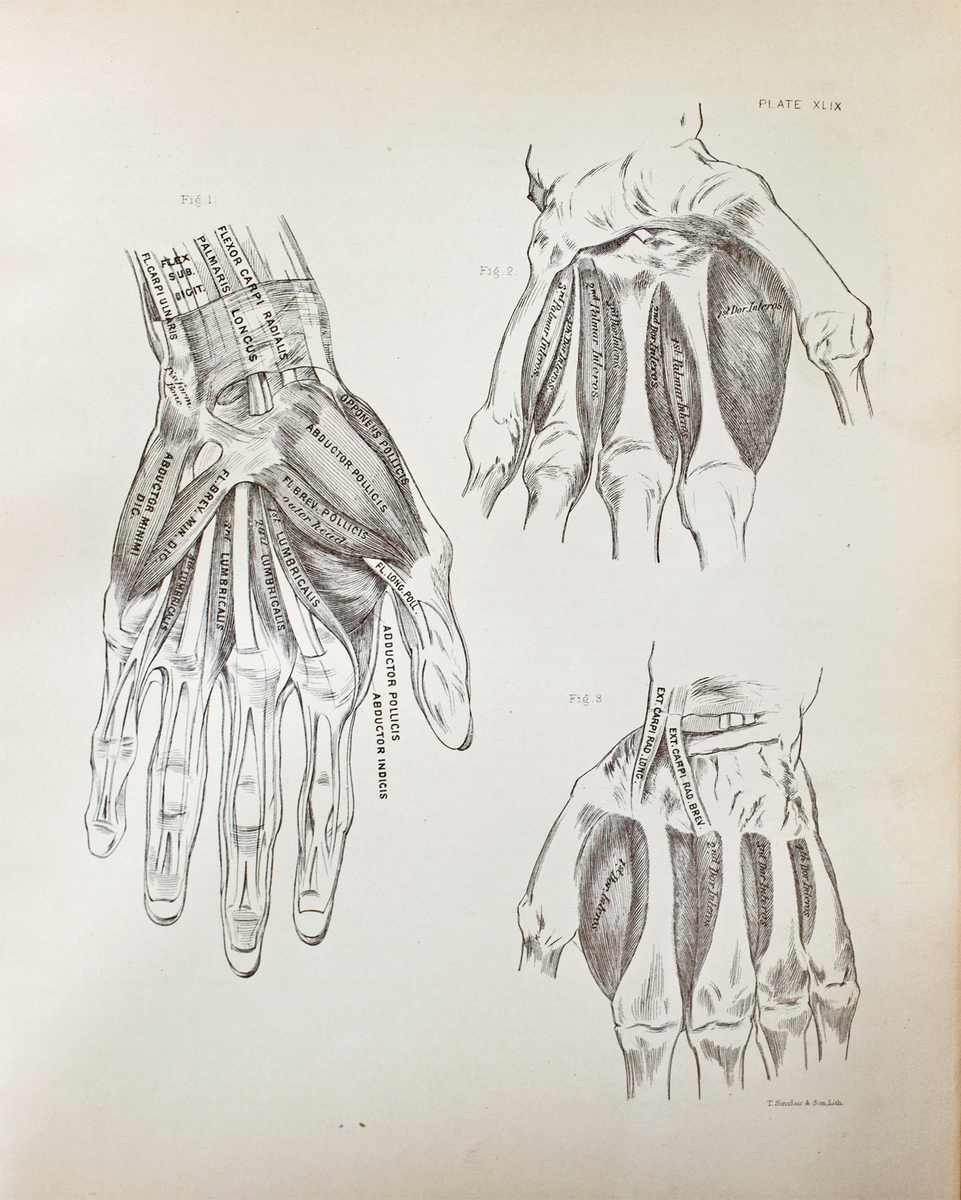 Anatomical diagram of the muscles of the hand