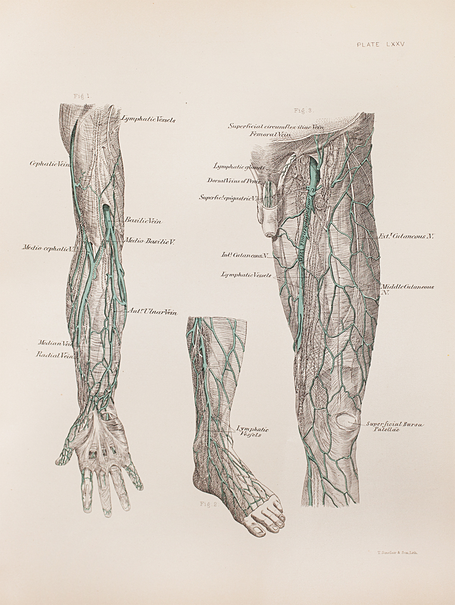 Anatomical diagram of the veins and lymphatics of the upper extremity, foot, leg, thigh, and external genitals