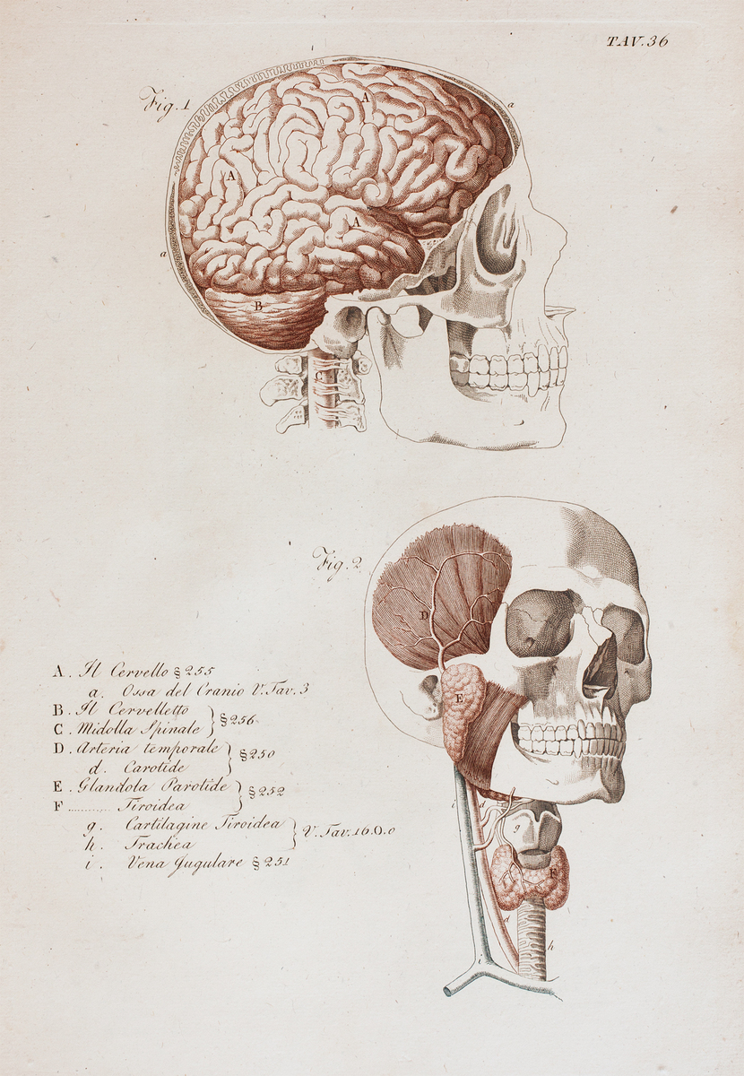 Anatomical diagram of the skull, brain, trachea, and glands