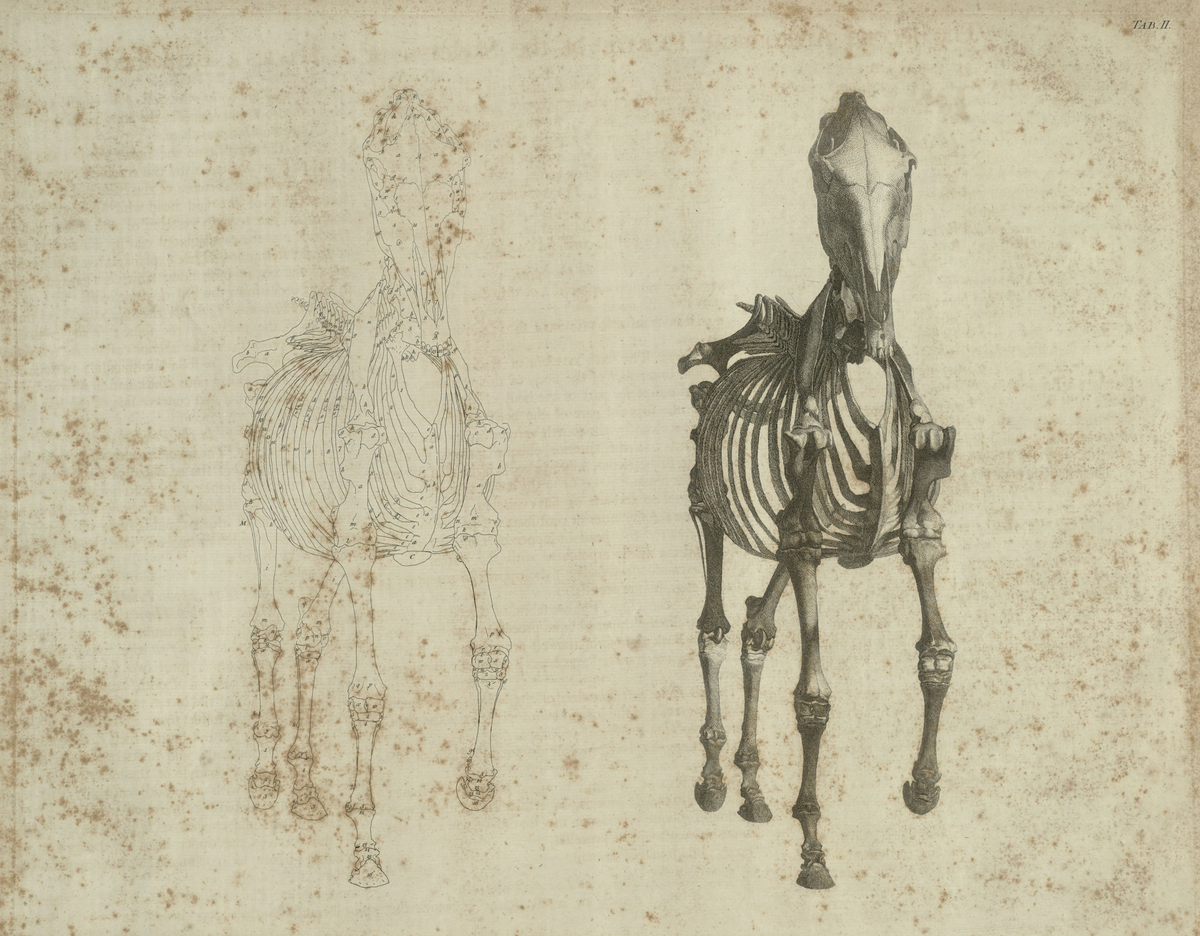 The second anatomical table of the skeleton of a horse