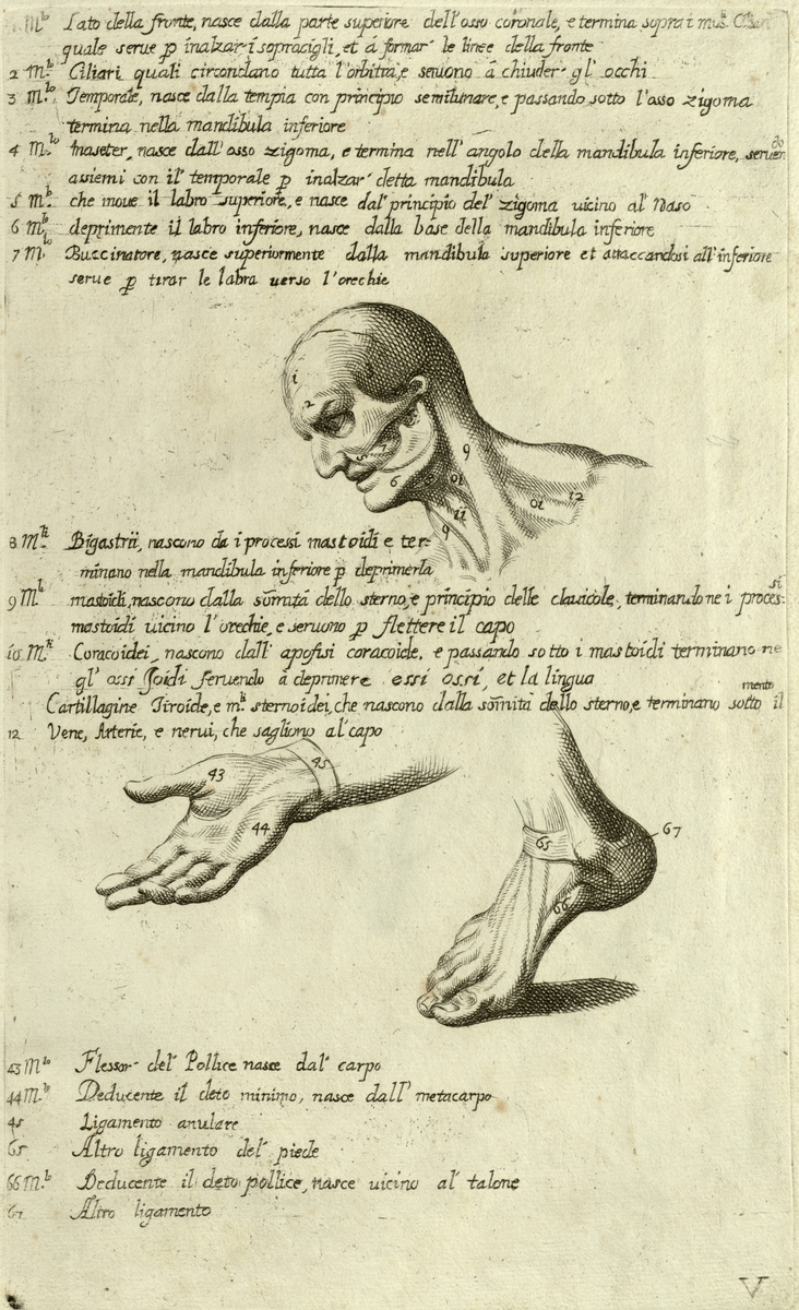 Anatomical diagram of the human head, neck, hand, and foot