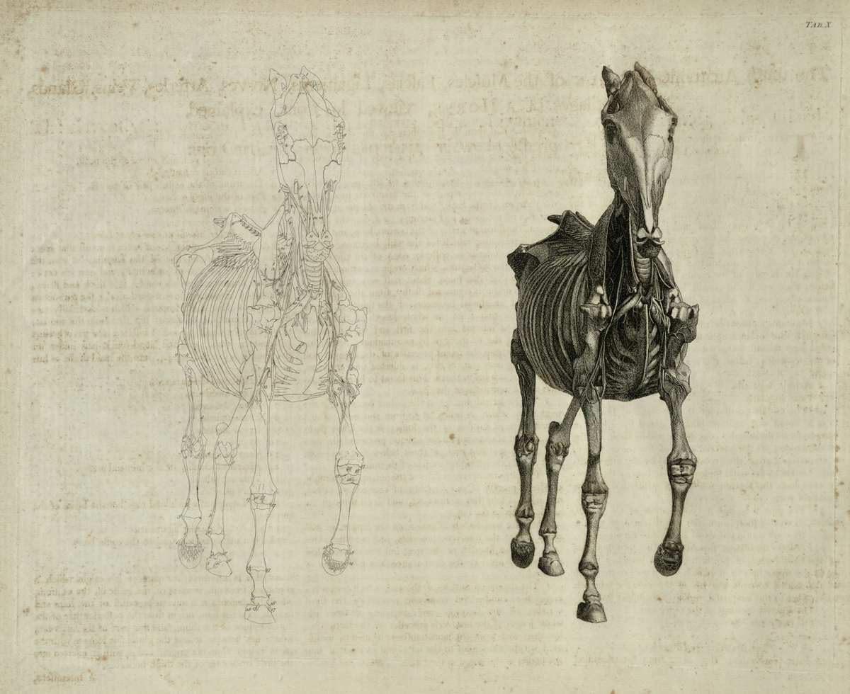 The tenth anatomical table of the muscles, fascias, ligaments, nerves, arteries, veins, glands, and cartilages of a horse, viewed in front