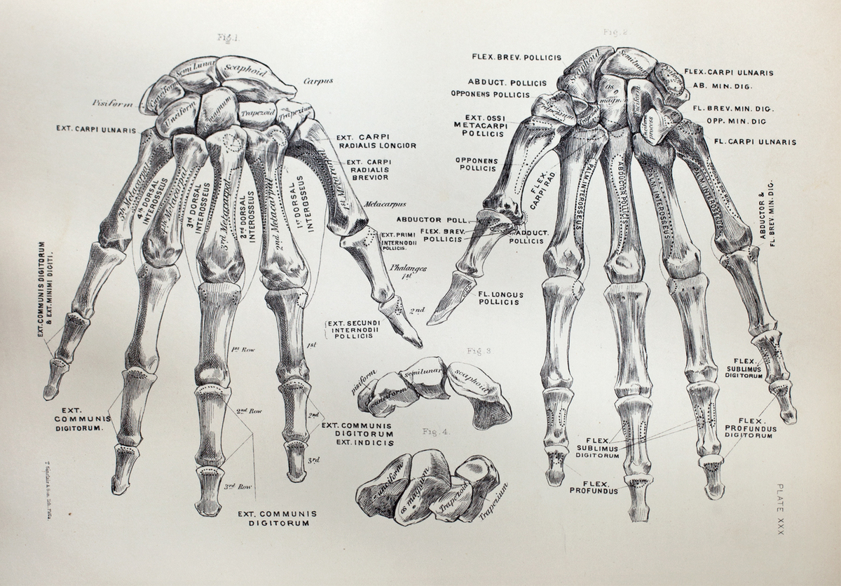 Anatomical diagram of the bones of the hands and wrists
