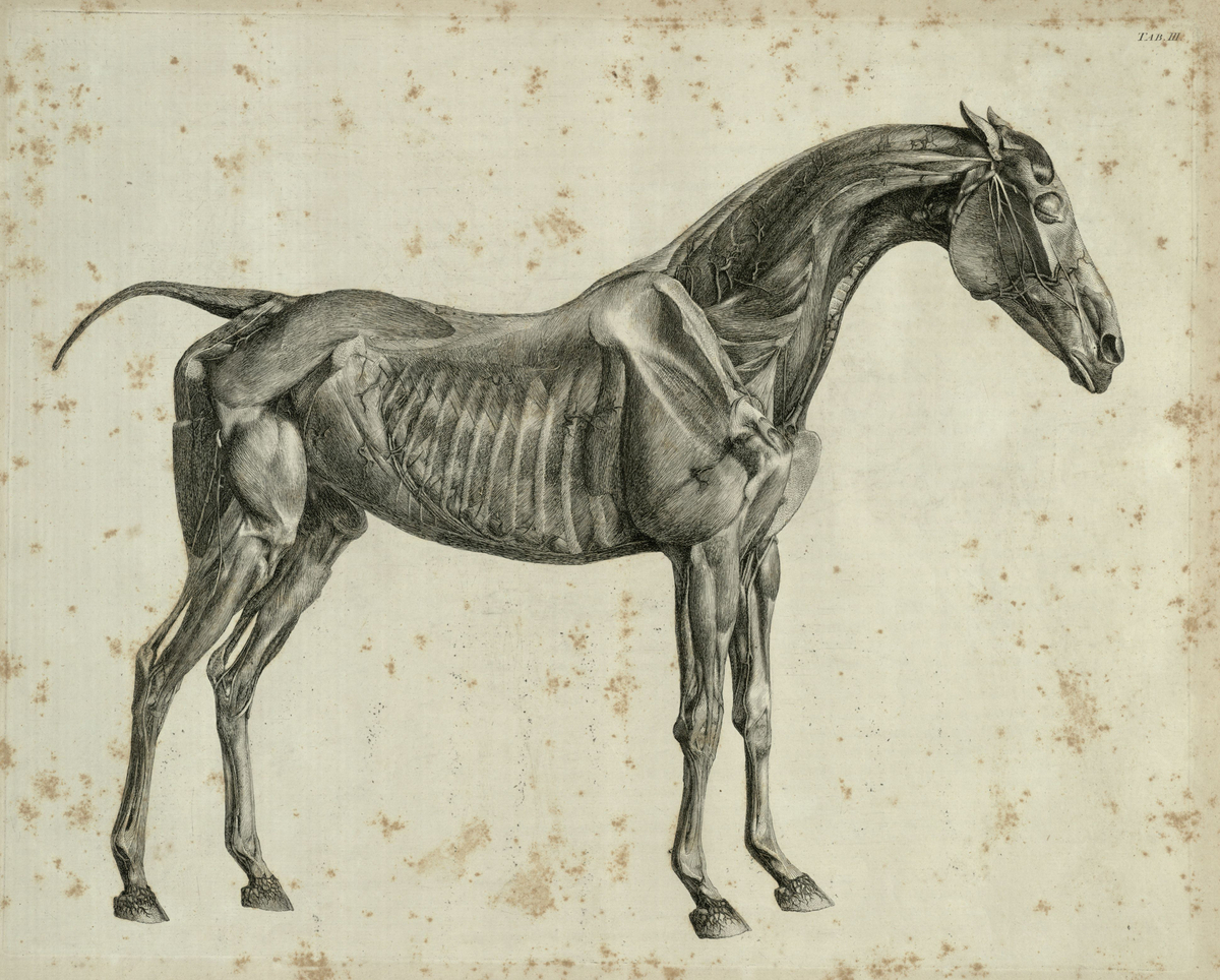 The third anatomical table of the muscles, fascias, ligaments, nerves, arteries, veins, glands, and cartilages of a horse