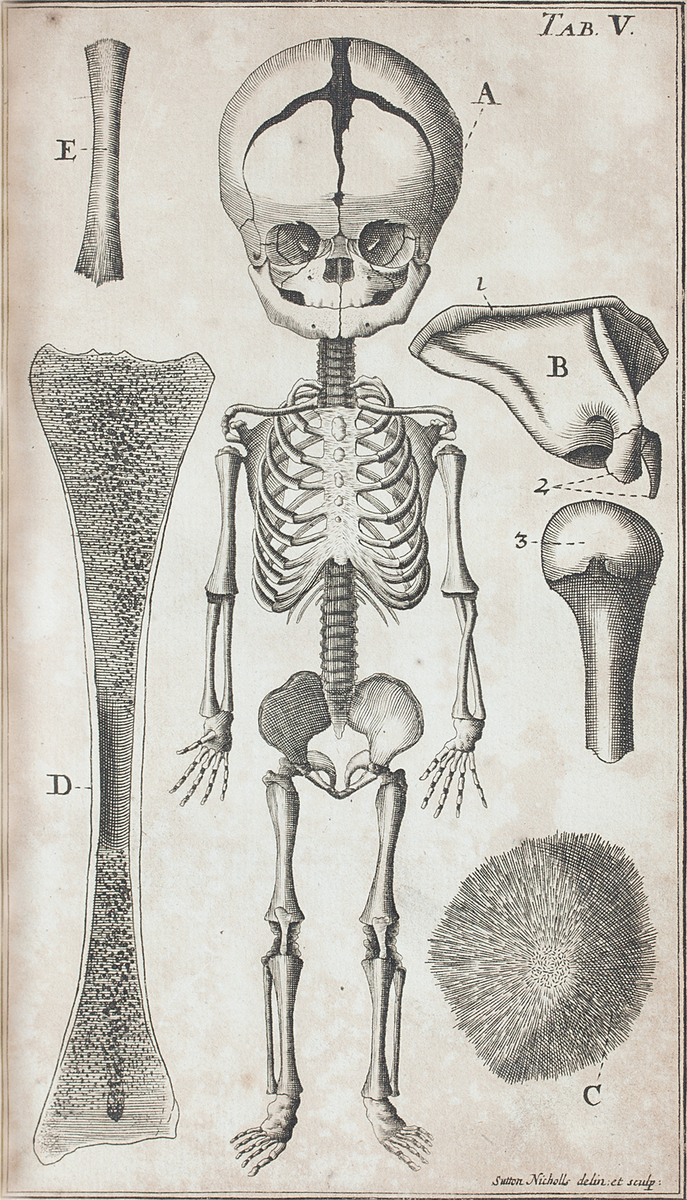 Anatomical diagram of the skeleton of a fetus and other bones in development