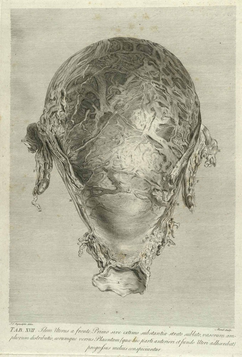 A direct fore-view of the womb, after the outer stratum of its substance had been dissected off, to shew the distribution of the larger uterine vessels in their way to the placenta …