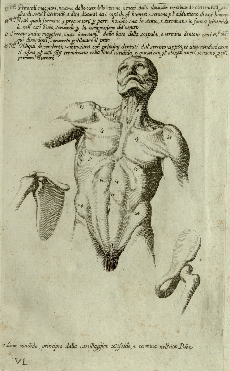 Anatomical diagram of the muscles of the human torso