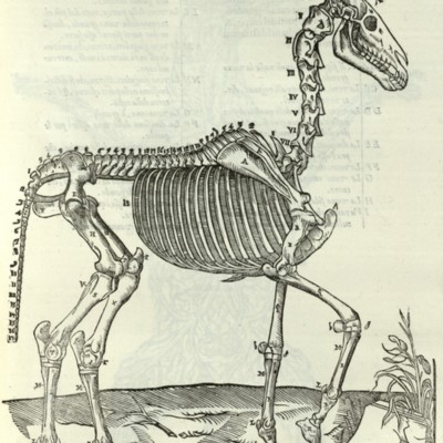 Anatomical diagram of the skeleton of a horse