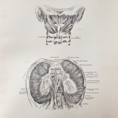 Anatomical diagram of the muscles of the nape of the neck and the diaphragm