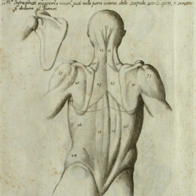 Anatomical diagram of the muscles of the human back