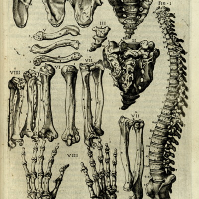 Anatomical diagram of bones of the upper body