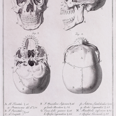 Anatomical diagram of the skull