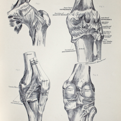 Anatomical diagram of the hip-joint and knee-joint