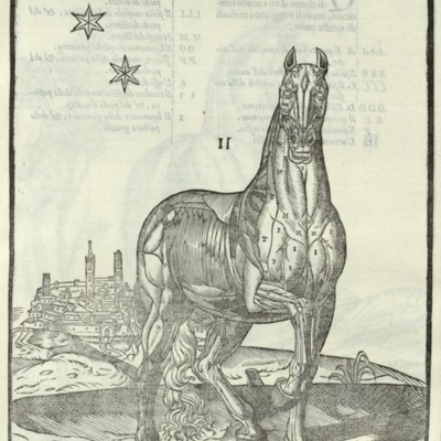 Anatomical diagram of the muscles of a horse