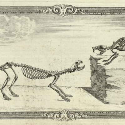 Rat and weasel skeleton
