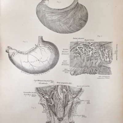 Anatomical diagram of the stomach, rectum, and male pelvis