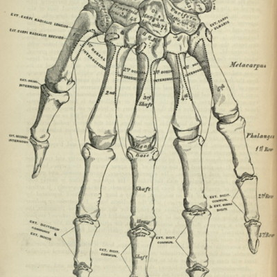 Bones of the left hand, dorsal surface