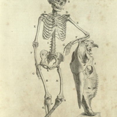 The skeleton of a boy nine years of age, leaning on the scull of an horse, which comparatively shews the size of the boy