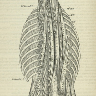 Muscles of the back, deep layers