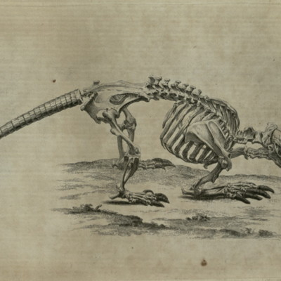 Armadillo skeleton