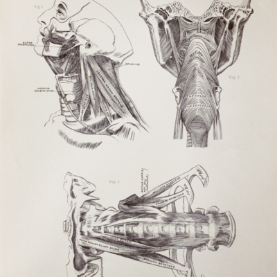 Anatomical diagram of the muscles of the neck and throat