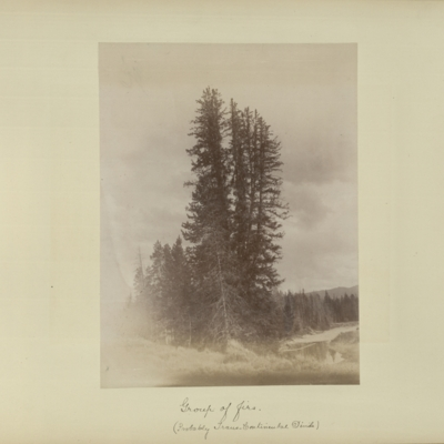 Group of firs (probably Trans-Continental Divide)