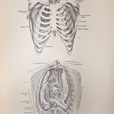 Anatomical diagram of the parts within the interior of the thorax seen from in front and behind