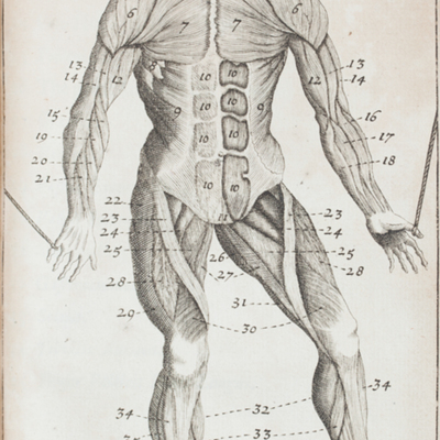Anatomical diagram of the muscles