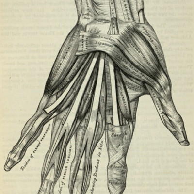 Muscles of the left hand, palmar surface