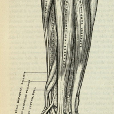 Posterior surface of fore-arm, superficial muscles