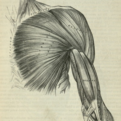 Muscles of the chest and front of the arm, superficial view