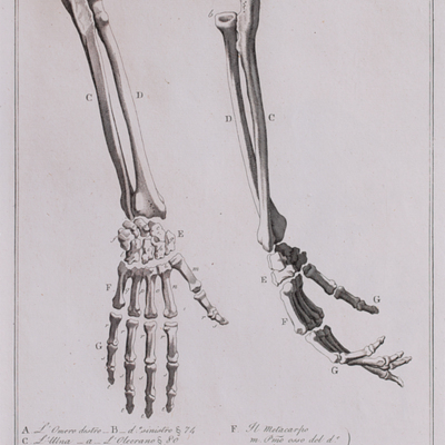 Anatomical diagram of the bones of the right and left hand, forearm, and elbow
