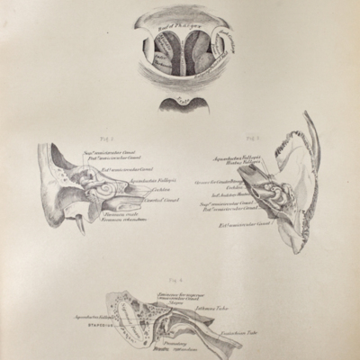 Anatomical diagram of the inner ear and posterior nares