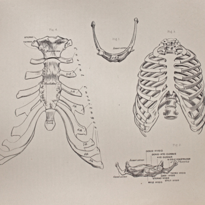 Anatomical diagram of the hyoid bone, thorax, and sternum