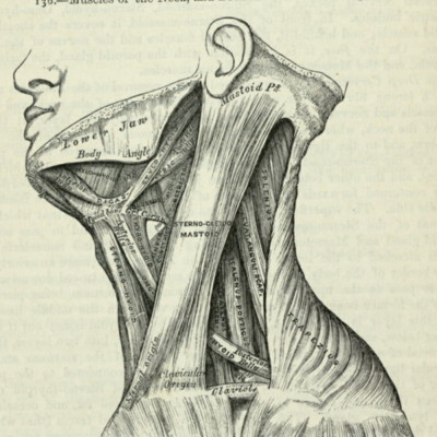 Muscles of the neck, and boundaries of the triangles