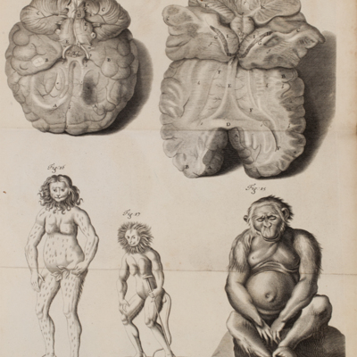 """Orang-outangs"" with anatomical diagrams of the brain"