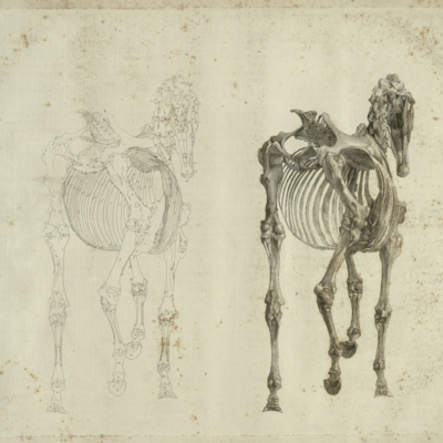 The third anatomical table of the skeleton of a horse
